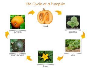 life cycle of a pumpkin control chart copy