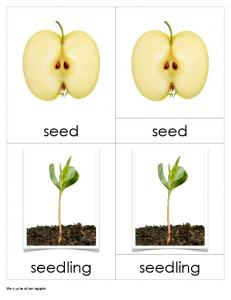 life cycle of an apple nomenclature cards copy