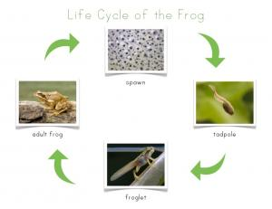 life cycle of the frog control chart for nomenclature cards
