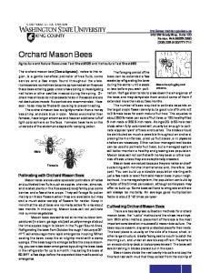 Orchard mason bee